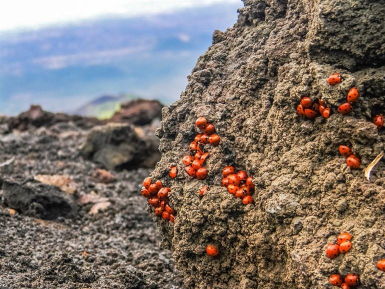 Ladybirds on Etna