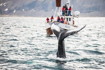 Whale watching in Iceland? Best time & place to see them, tips + tours